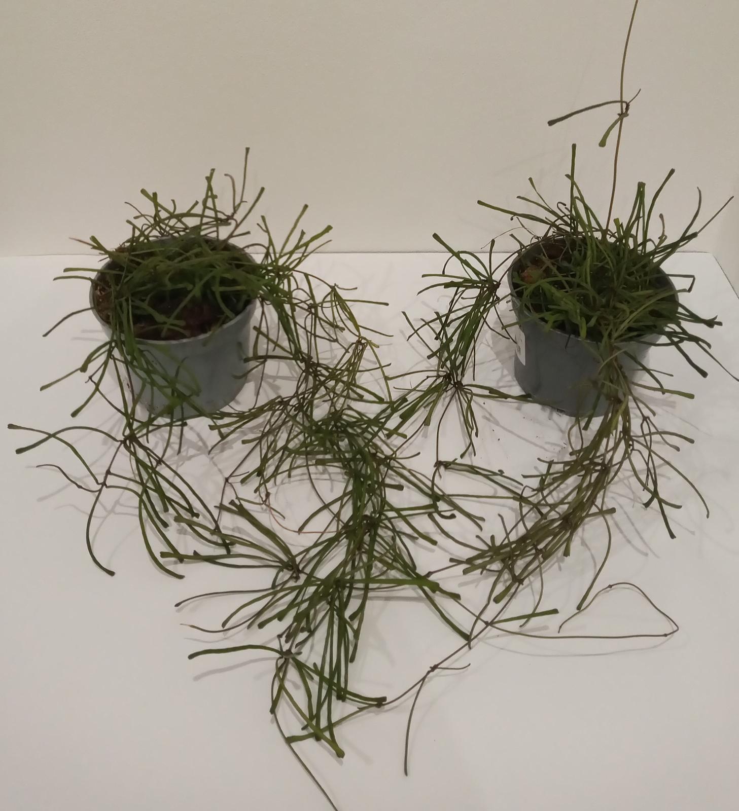 Hoya retusa - Obrázok č. 1