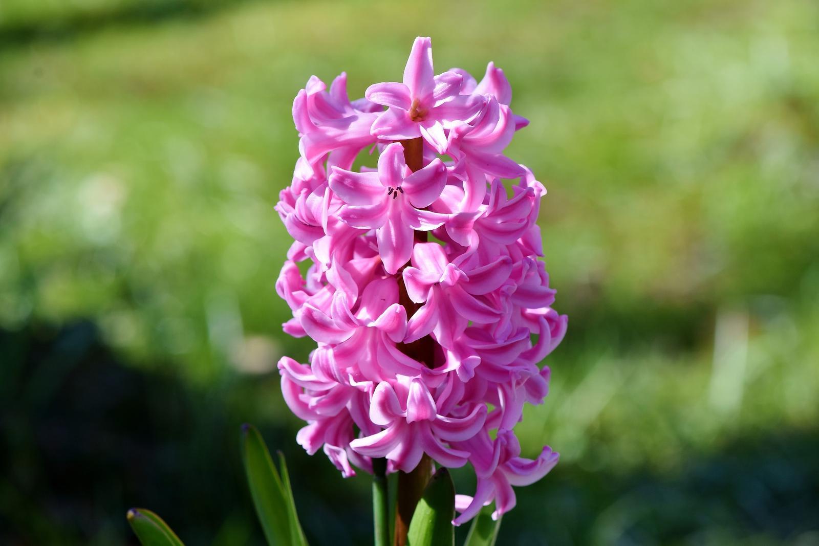 Hyacinty - cibuľky - Obrázok č. 1