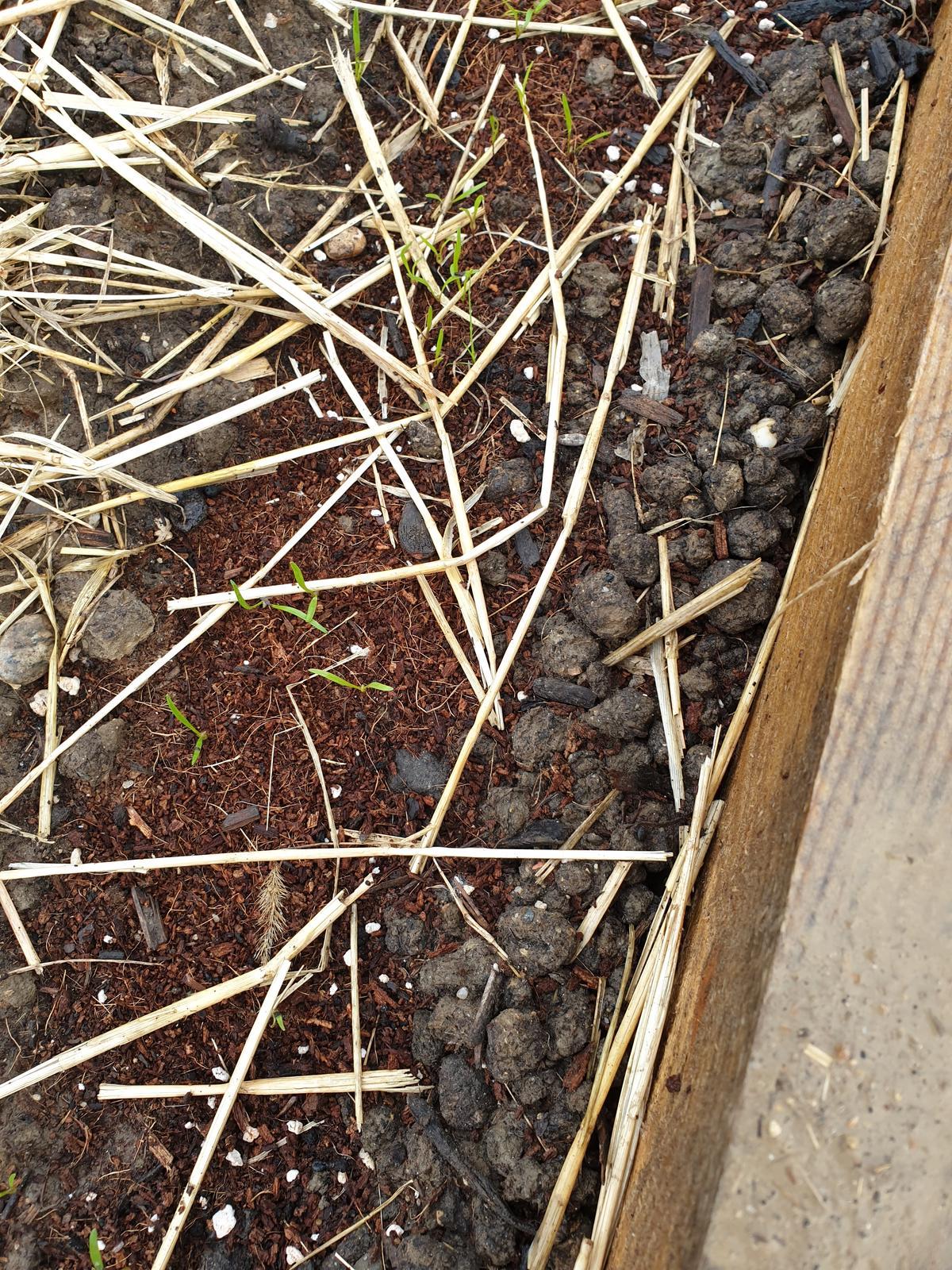 Semená mrkvy aj petržlenu... - Obrázok č. 2