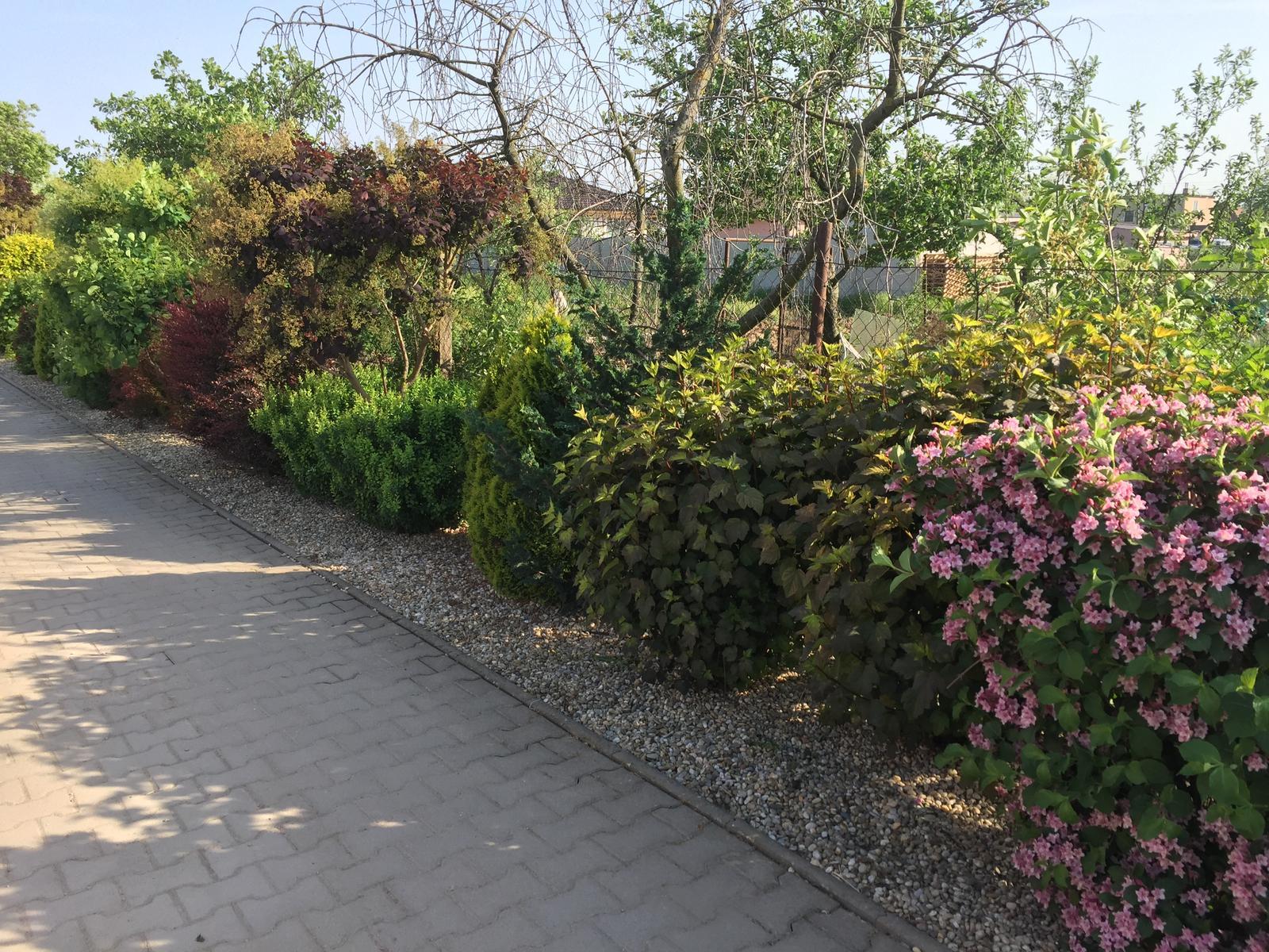 Okolie domu - Tento živý plot som sadila u mojich rodičov pred5.rokmi. Predstavujem si to aj u mna  na dvore len nejako sa tie naše stavebné úpravy naťahujú :(