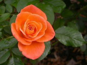 začala jsem vážně uvažovat o oranžových růžích :)