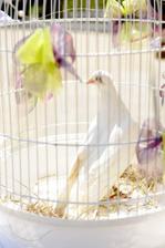 TIP PRO SVATEBČANY!!! Svatební holubice... O:-)
