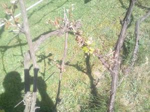 Sem - tam sa nájde nejaký zelený lístok... keď nebude hrozno, snáď ostane aspoň zopár listov do kvasených uhoriek. :o)