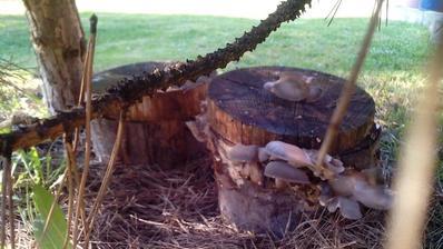 Aj som zabudol napísať, že hlivu som sadil v máji a takto začala rašiť niekedy koncom októbra.