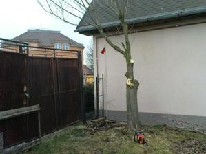 Sakura - náš jediný strom ...