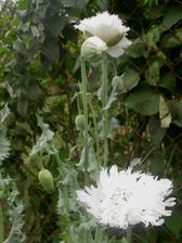 plnokvětý bílý vlčí mák