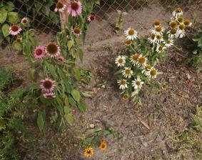 echinacea, bílá a žlutá rudbekie