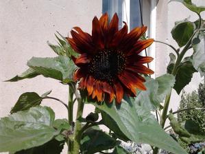 červená slunečnice