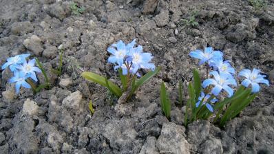 Modrovky ešte v chladnej jari takto vykukli spod zeme ako prvé, veľmi som sa z nich tešila