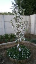 Naša stĺpová jabloň zakvitla a vyzerá ako biela nevesta