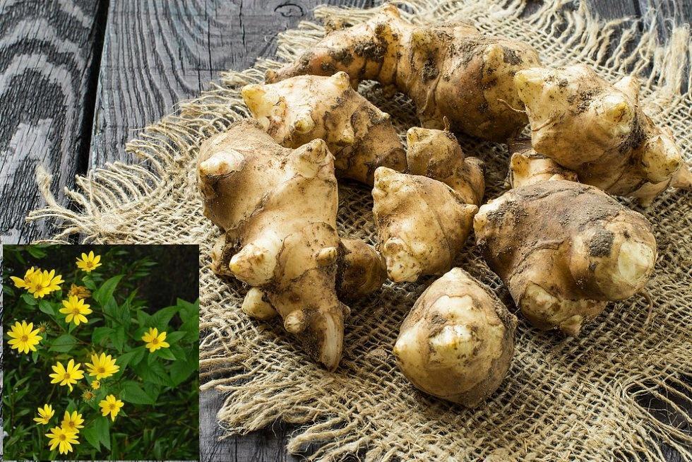 Bylinky a ovocie...receptíky z nich - Topinambur - alebo slnečnica hľúznatá, či židovský zemiak