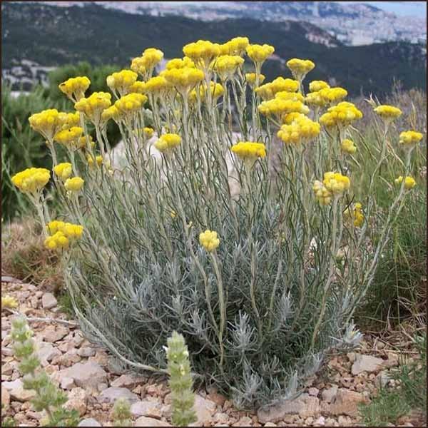 Bylinky a ovocie...receptíky z nich - SLAMHA TALIANSKÁ - Helichrysum angustifolium syn. italicum SLAMIHA PIESOČNÁ - Helichrysum arenarium