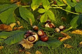 Bylinky a ovocie...receptíky z nich - Pagaštan konský (Aesculus hippocastanum)