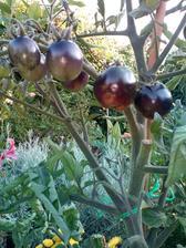 Darovaná sazenice černých rajčat, opět letos pěstuji poprvé.