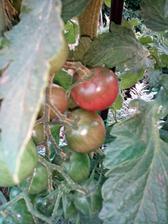 Darovaná sazenice rajčat hnědých.Letos pěstuji poprvé.
