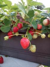 Převislé jahody v truhlíku.
