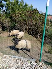 Na návštěvě u babičky. Ovečky jsou sousedů.
