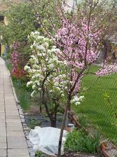 Kvetoucí broskev.