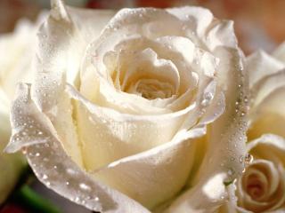 14.2. :-D :-D - milujem ruže :-)