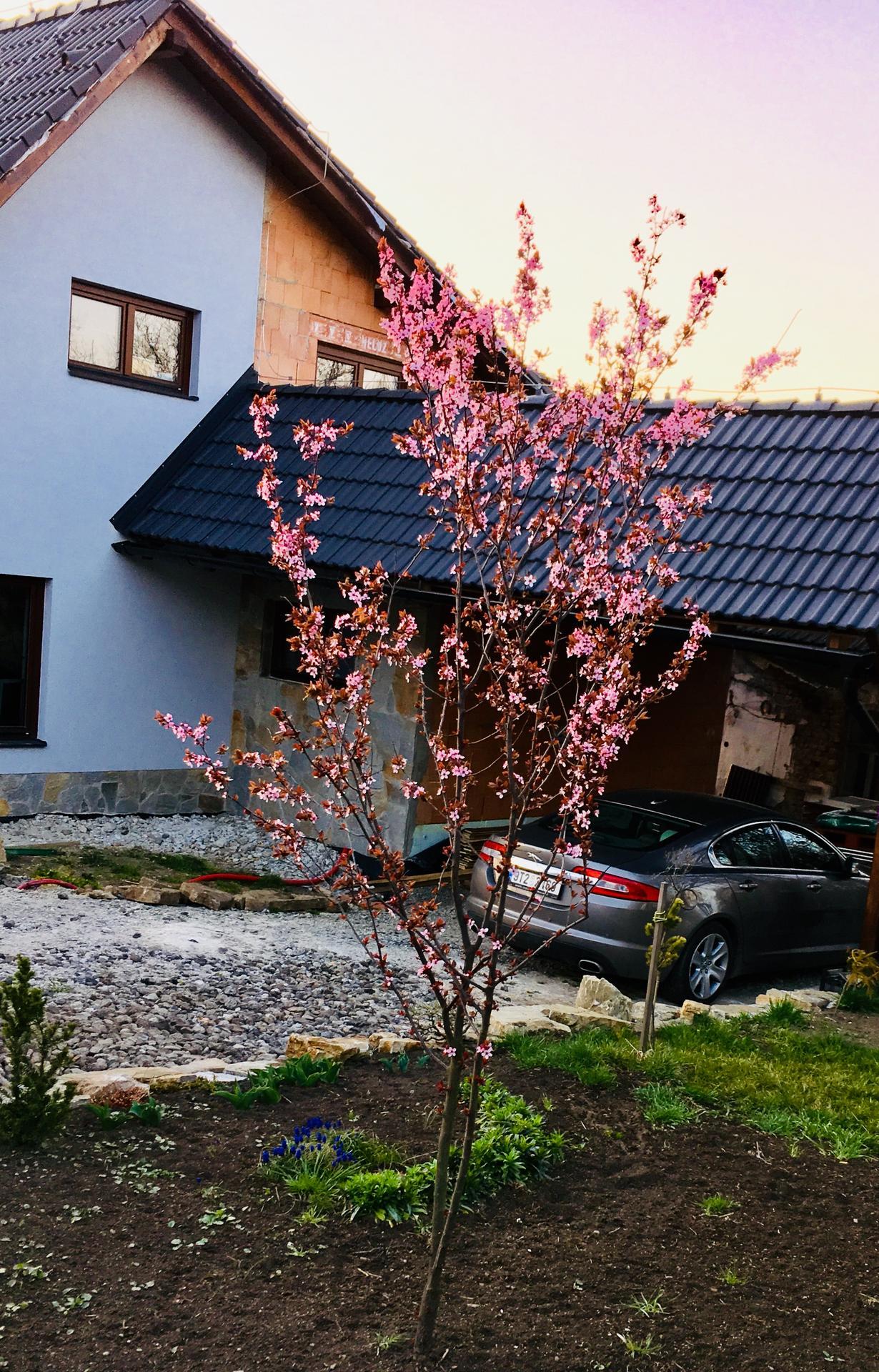 Zahrada - okrasná slivoň, další strom, který nám po lýkovci kvete, jako první