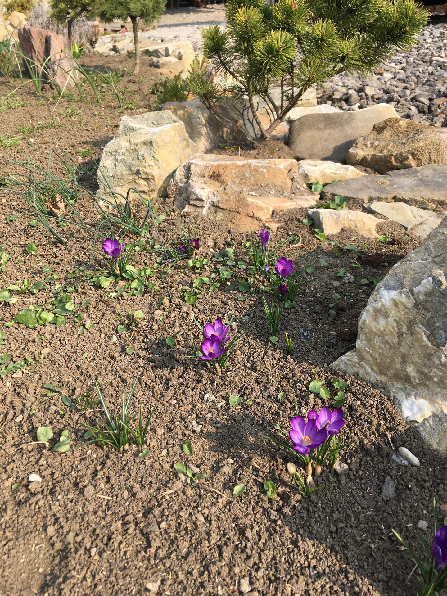 Zahrada - na podzim jsem v lidlu nakoupila spoustu cibulovin a těšila se, až na jaře vykvetou