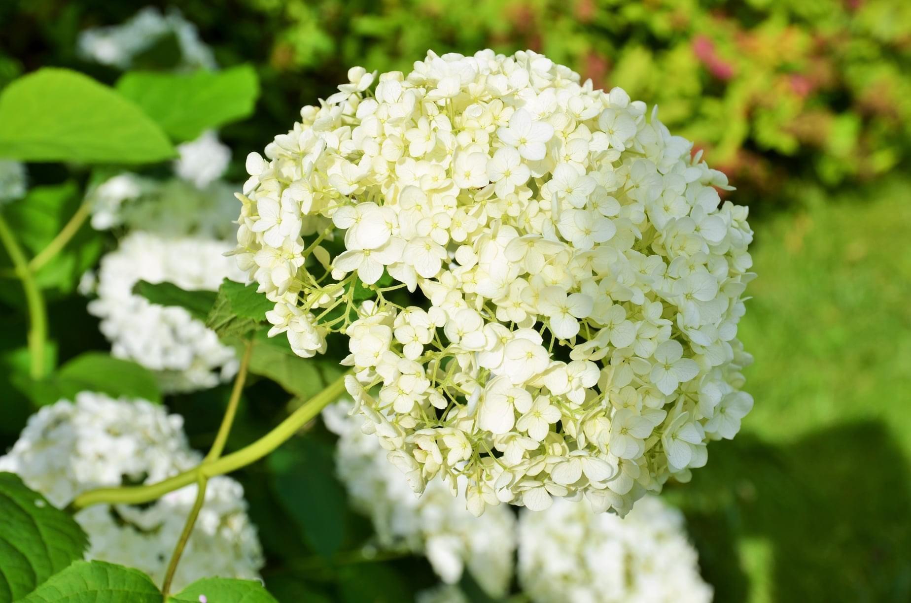Zahrada - letošní hortenzie milé překvapila