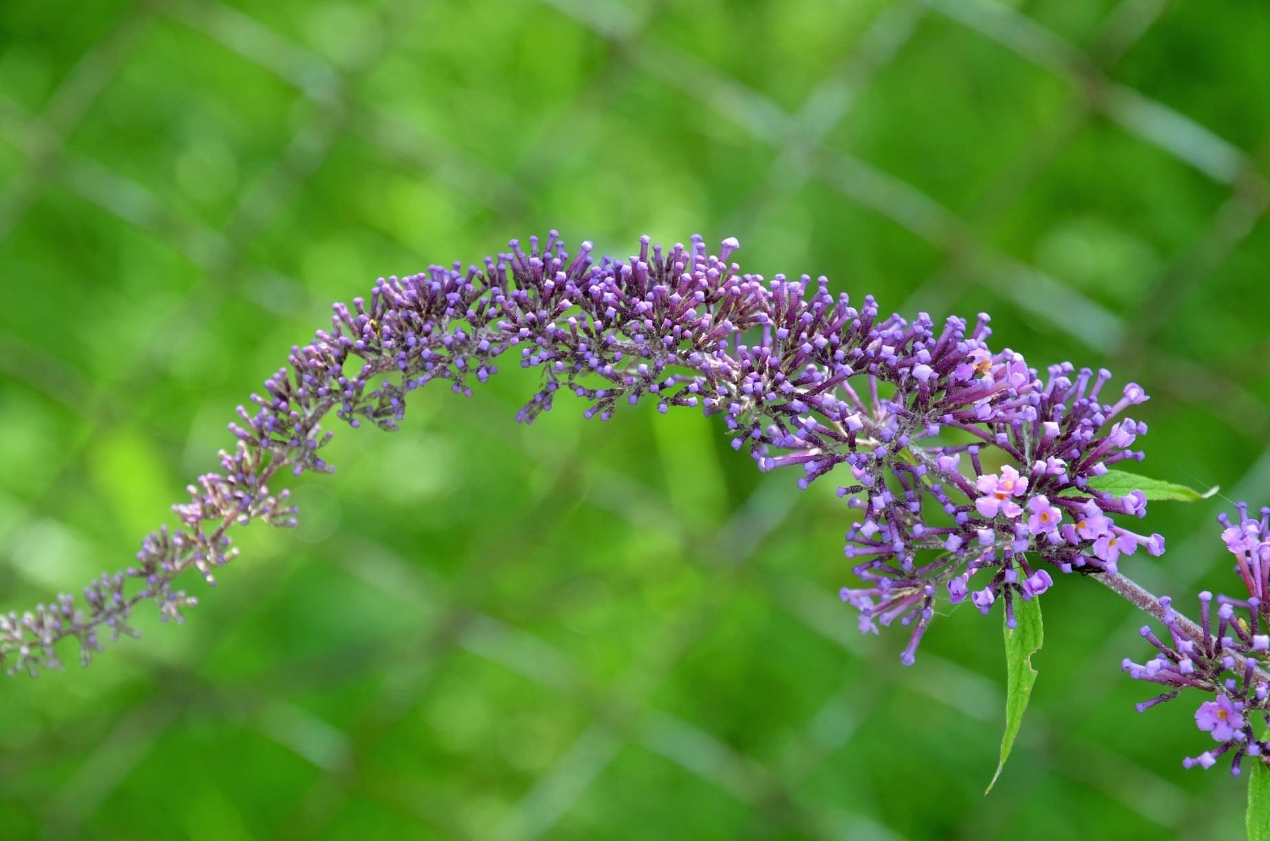 Zahrada - nakvétá motýlí keř