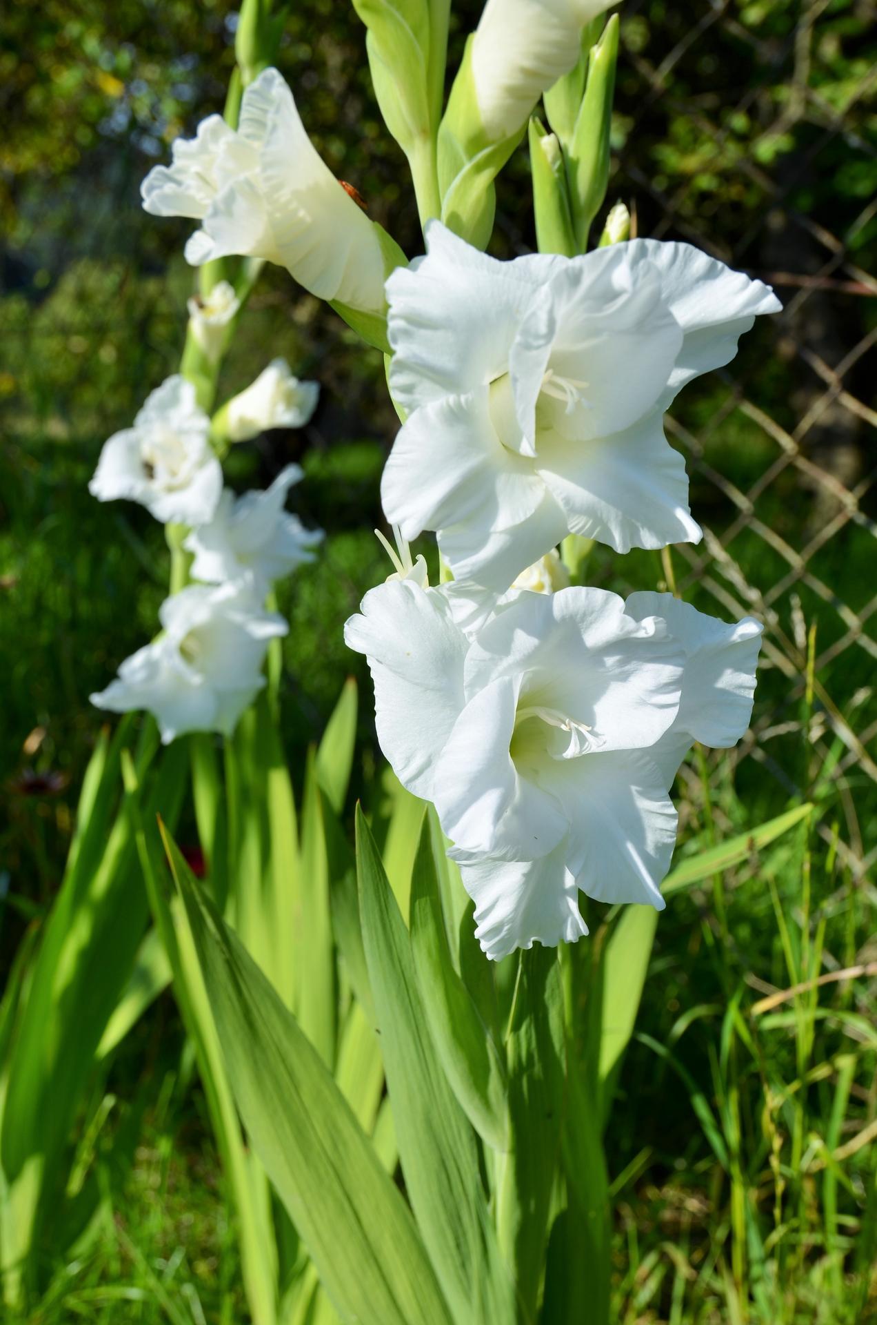Zahrada - sněhově bílé gladioly