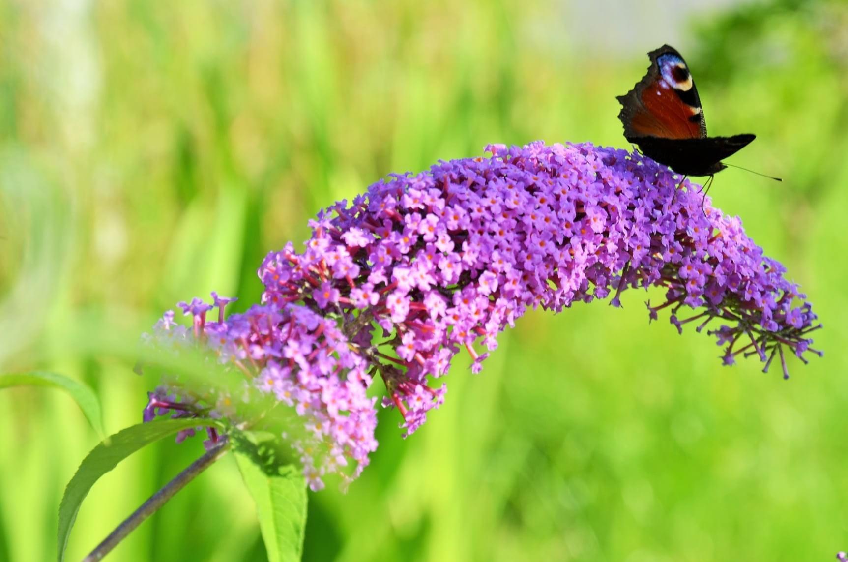 Zahrada - už víte, proč se mu říká motýlí keř?