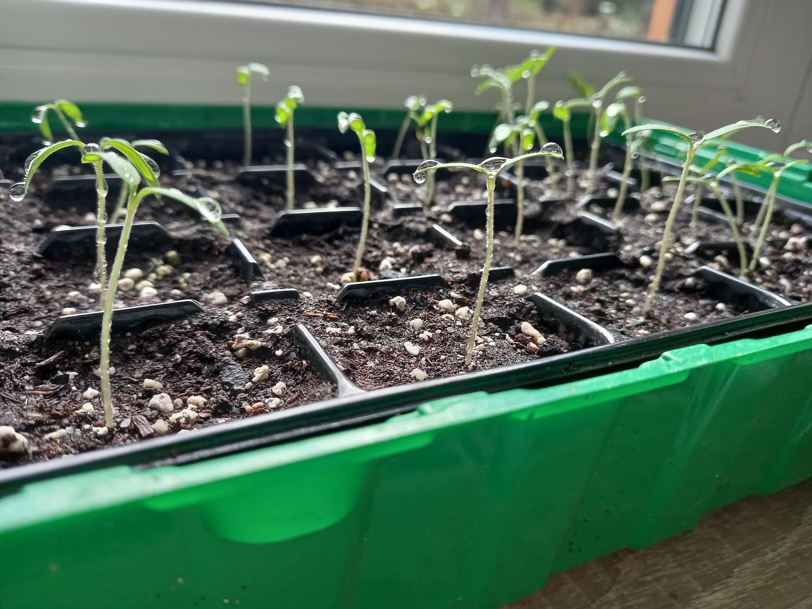 Jedlá zahrada - Po týdnu jsou ze semínek rajčete křehké rostlinky 🌱
