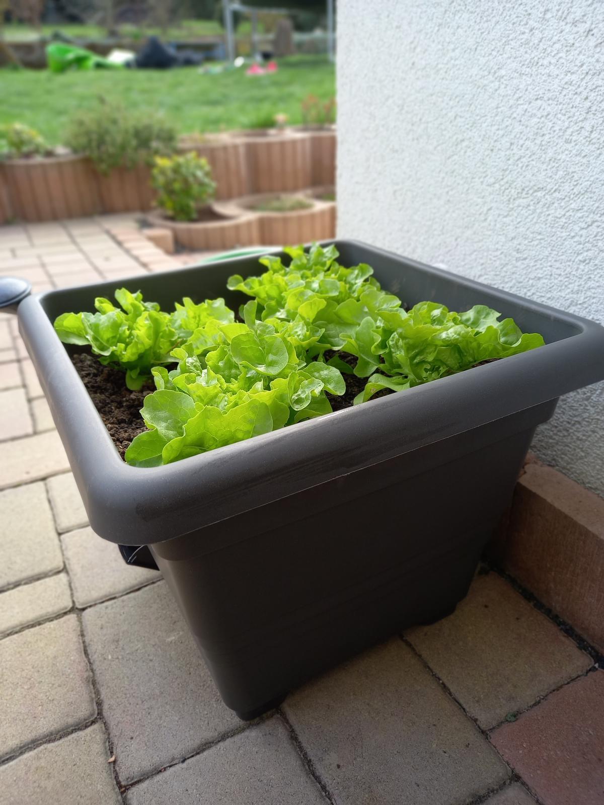 Jedlá zahrada - Salát Dubáček - může se sklízet postupně,odtrháváním listů