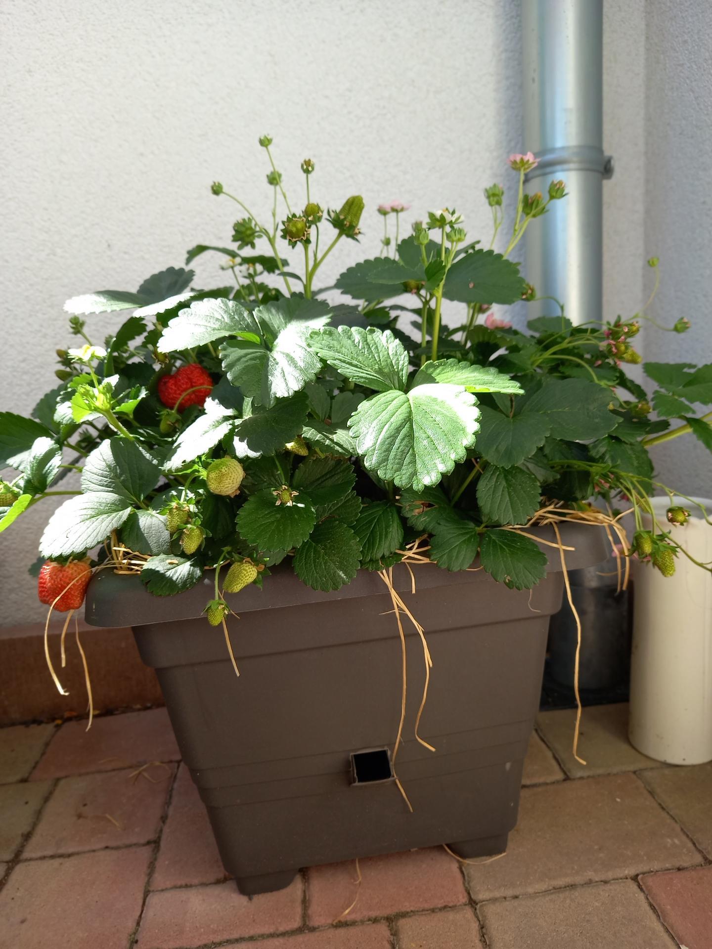Jedlá zahrada - Některé jahody už červenají ❤🍓🍓🍓