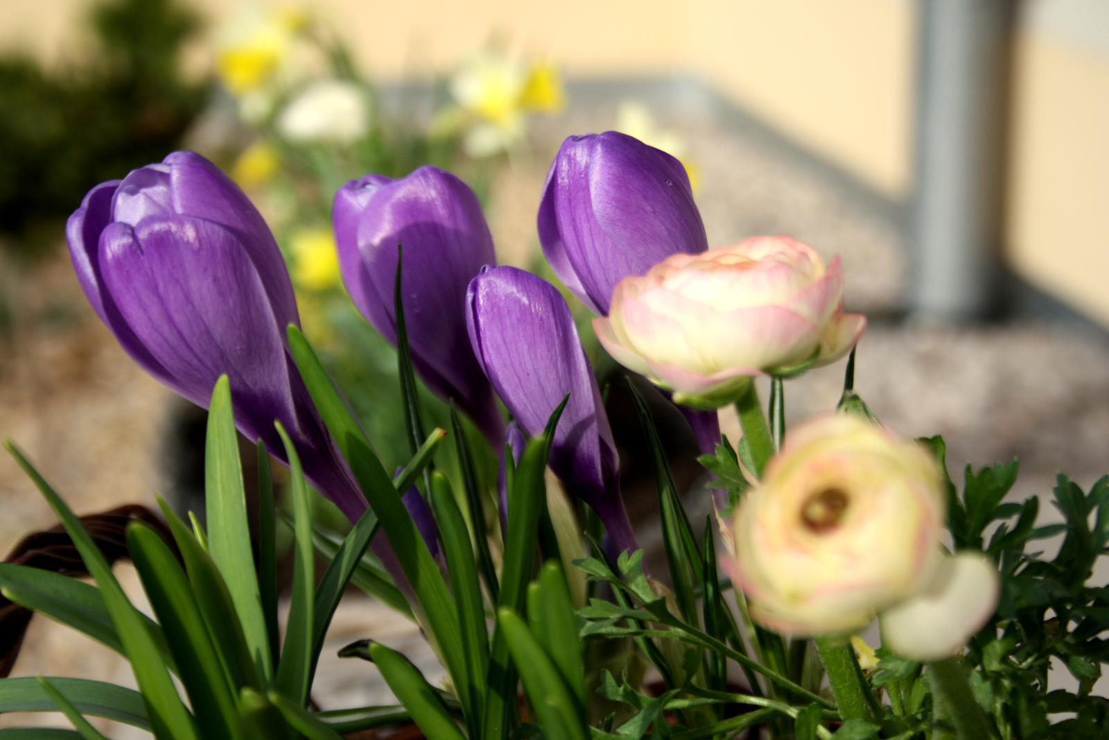 Jarne a letne aranzmany a dekoracie - Jarne cibuloviny v kosoch