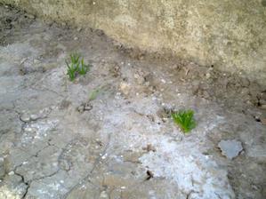 keďže o vlastnej záhradke môžem  len snívať, dnes ma veľmi potešili pred domčekom vykúkajúce asi-hyacinty. Musia  byť staré hádam aj 10 rokov...