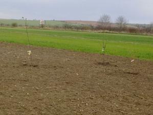 prvé prírastky do ovocného sadu - jabĺčka a broskyňa