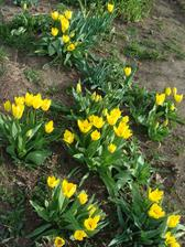 Tulipány rozkvitli