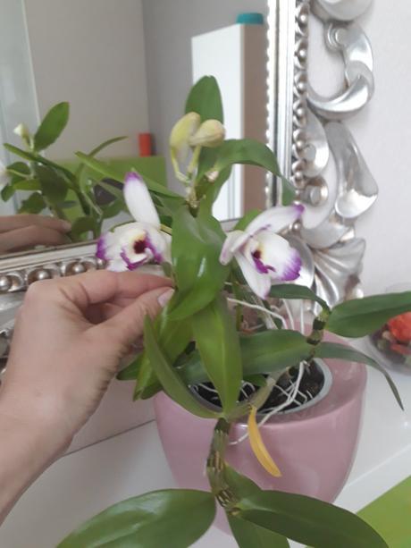 orchidea - Obrázok č. 1