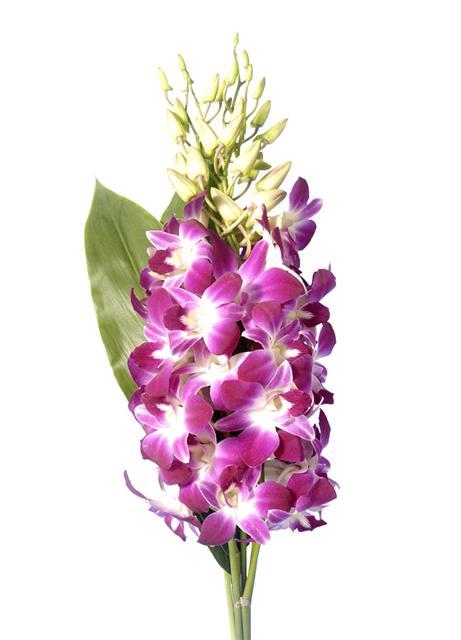 Co kdy kvete - Dendrobium