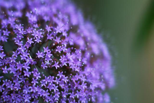 Co kdy kvete - Trachelium