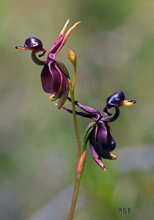 Ň - tak toto je orchidea, verili by ste??