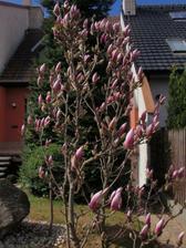 naše magnolie