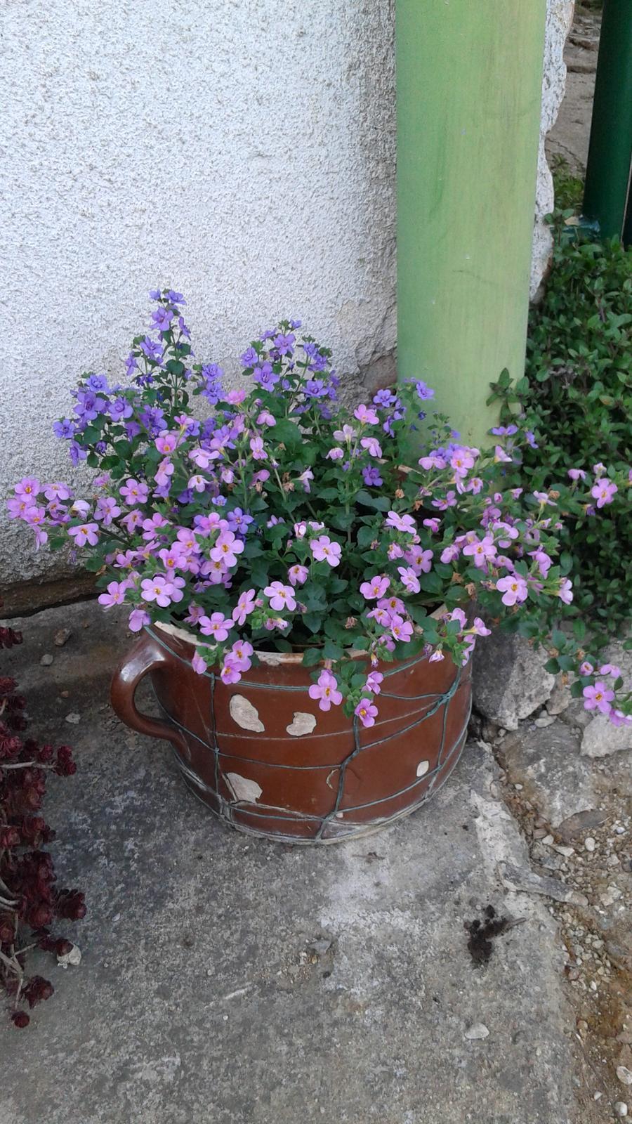 Zahrada od začátku - bacopa