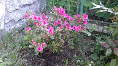 azalka loni zasazená a už krásně kvete