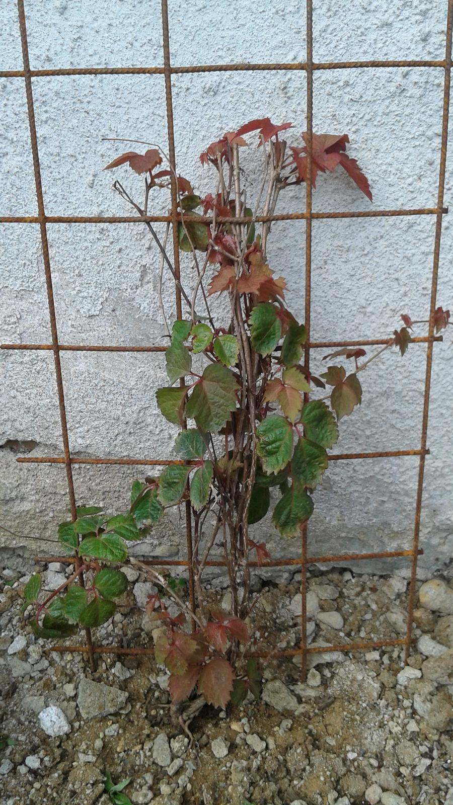 Zahrada od začátku - přísavníku se zatím moc nechce růst