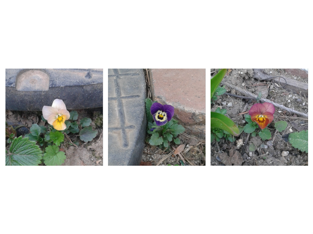 Zahrada od začátku - macešky se vysemenily všude po zahradě.. co krok, to jiná barva :-)