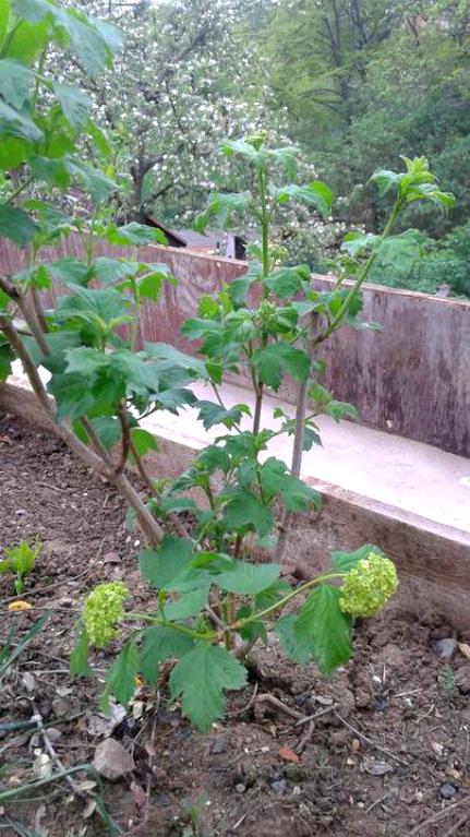 Zahrada od začátku - kalina něco chystá!