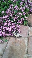 vzácná návštěva letos brzy - vždy přilétali až na kvetoucí levandule
