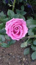 růže Tesco 19,90 Kč