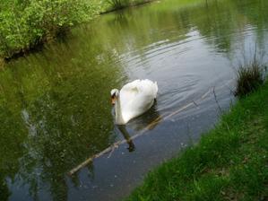 a že tam bude plávať aj takáto krásna labuťka