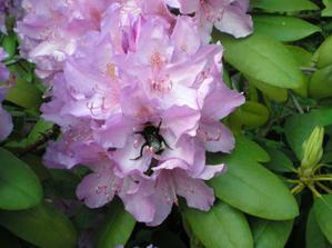 Pěnišník čili rododendron